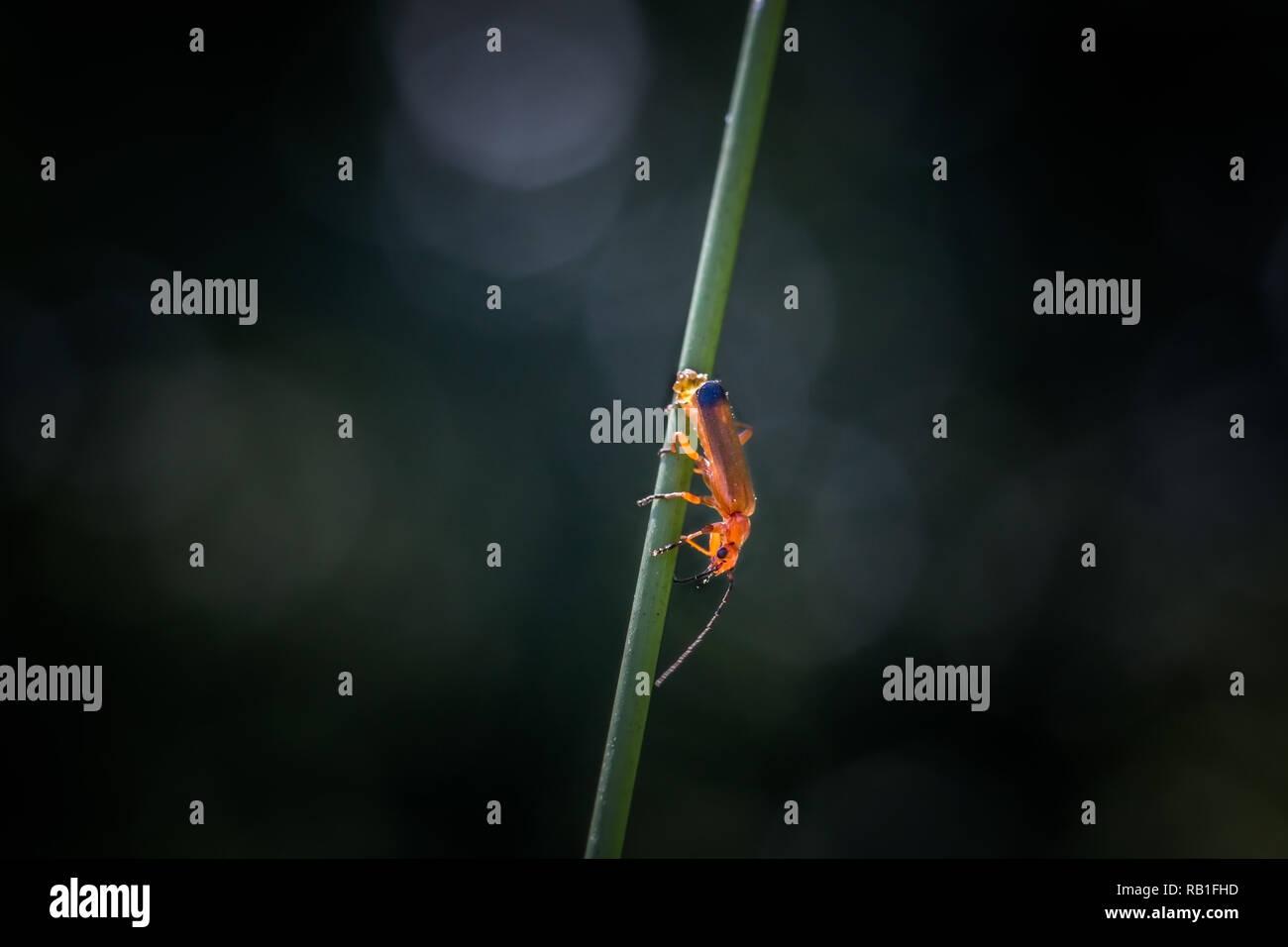 Soldatin Käfer Eier auf einem Grashalm Stockbild