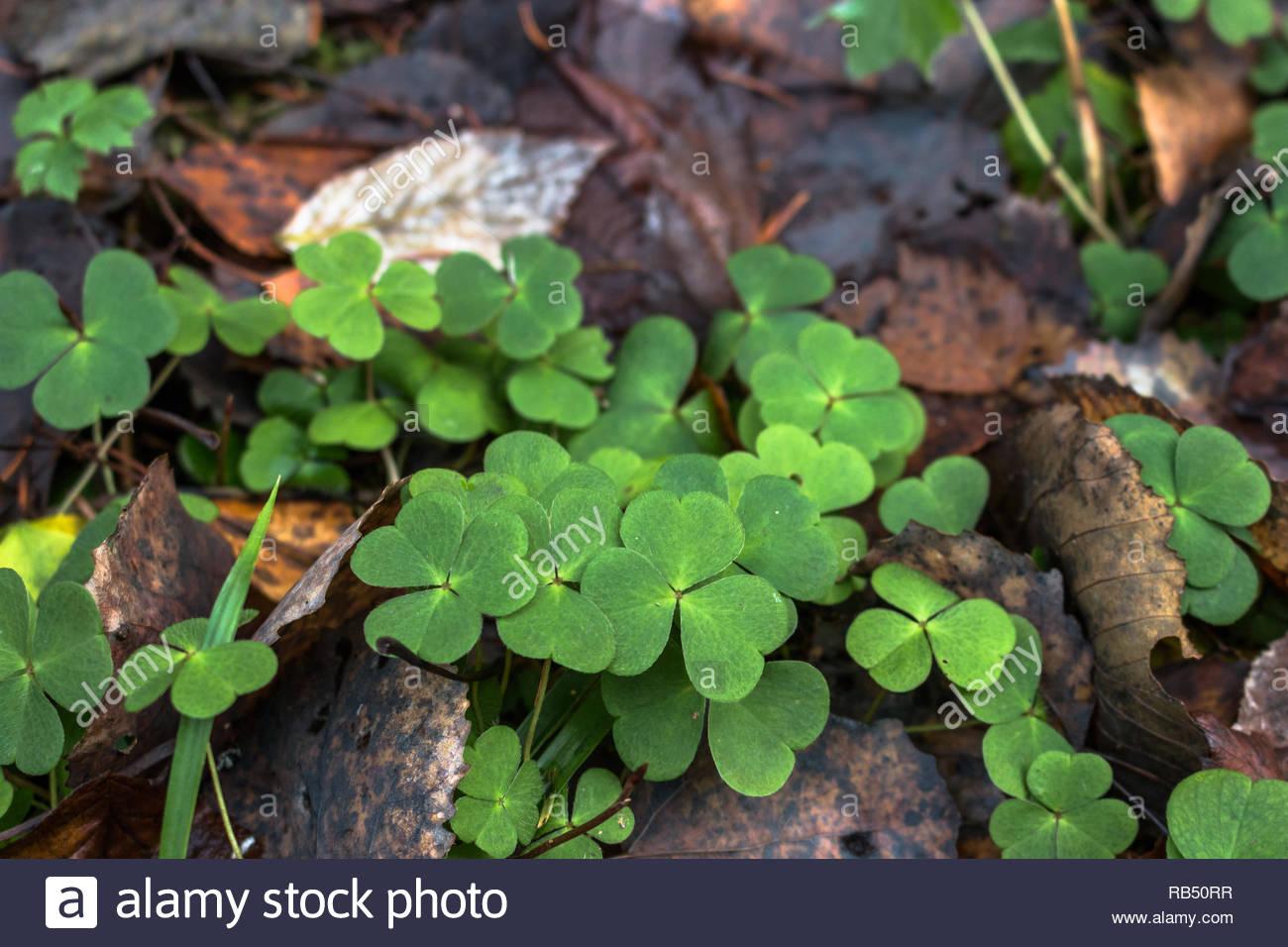 Grünen Klee wachsen auf dem Waldboden Stockbild