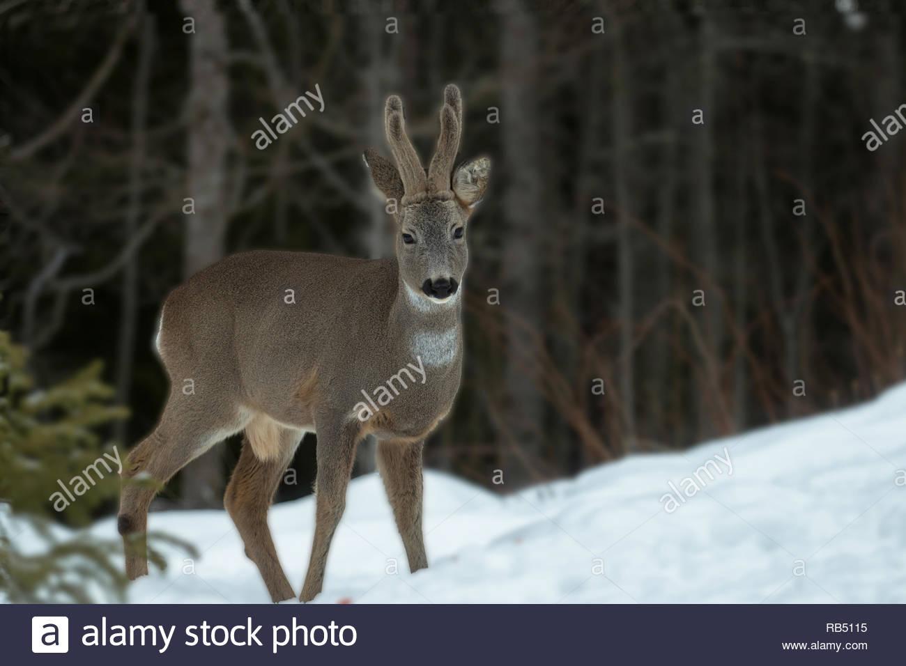 Deer Bock in die Kamera schaut Stockbild