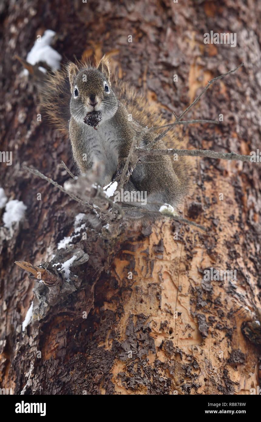 """Ein wildes Eichhörnchen """"Tamiasciurus hudsonicus' halten einer Fichte Kegel in seinem Mund nach unten schaut von seinem hohen Barsch auf einem Ast mit einem Supr Fichte Stockbild"""