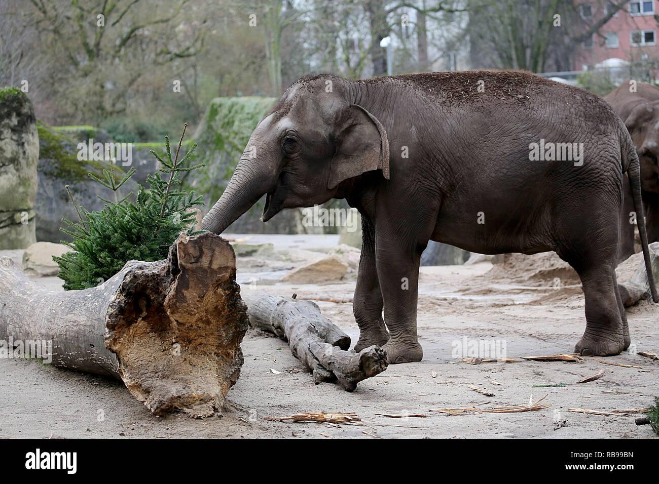 Weihnachten 2019 Köln.08 Januar 2019 Nordrhein Westfalen Köln Ein Elefant Frisst Eine