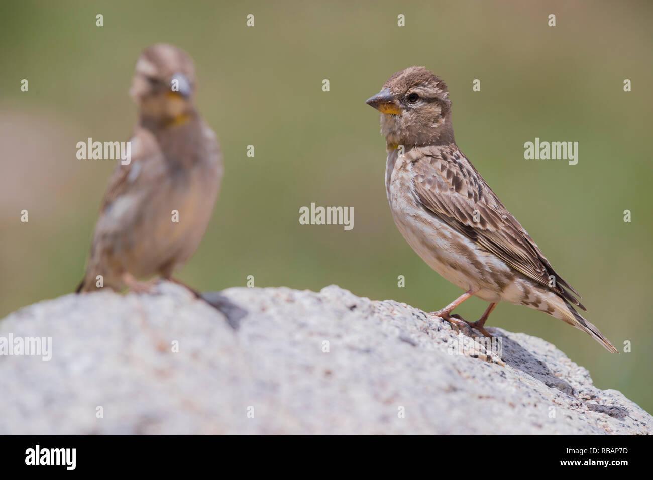 Rock Sparrow (Petronia petronia Barbara), zwei Erwachsene stehen auf einem Stein Stockbild