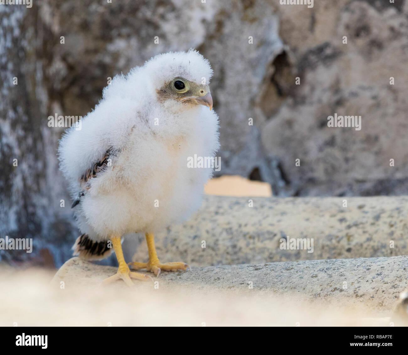 Weniger Turmfalke (Falco naumanni), Küken auf dem Boden in der Nähe ihr Nest in Matera Stockbild