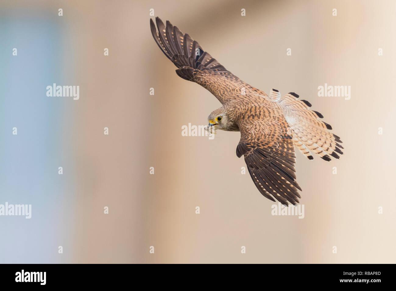 Weniger Turmfalke (Falco naumanni), erwachsene Frau im Flug von oben in Matera gesehen Stockbild