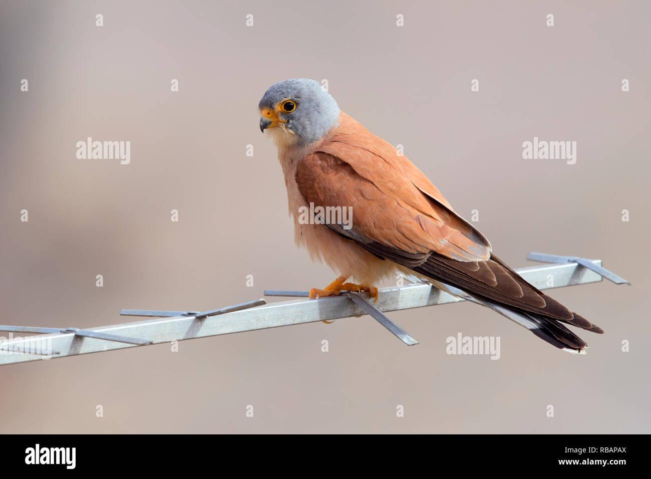 Weniger Turmfalke (Falco naumanni), erwachsenen männlichen thront auf einer Antenne in Matera Stockbild