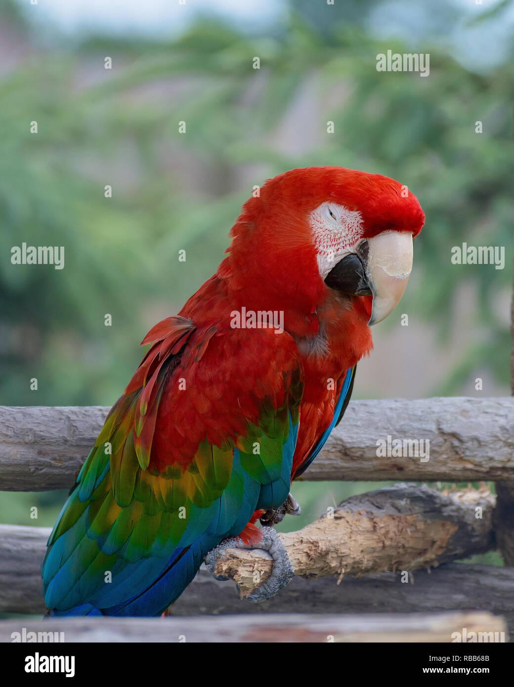 Ein Papagei, der kaum wach ist Stockfoto