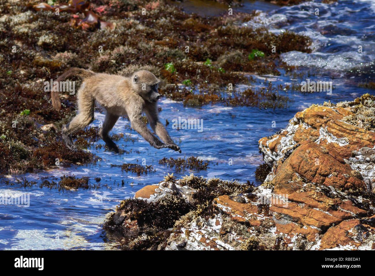 Serie von Aufnahmen mit einem Kap Paviane über eine Ausdehnung von Meer am Strand jumping, Kap, Südafrika Stockbild