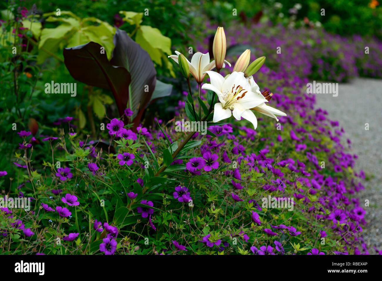 Lilium eyeliner, Geranium Anne Thomson, magenta, pink, Mix, Gemischt, Bett, Grenze, Blume, Blumen, Blüte, weiße Lilie eyeliner, RM Floral Stockbild