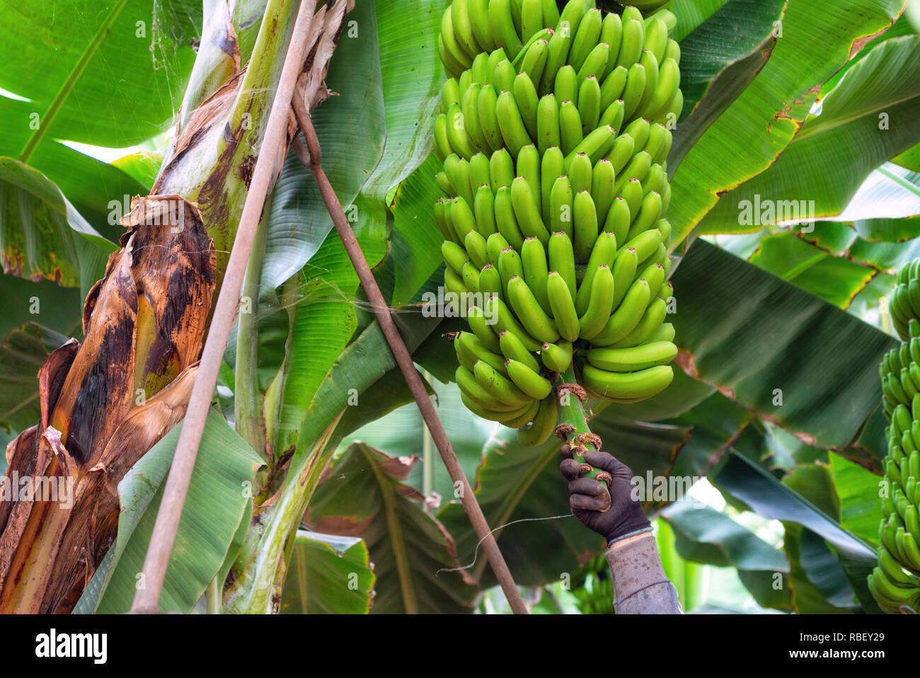 Arbeiter schneiden ein Bündel Bananen in einer Plantage in Teneriffa, Kanarische Inseln, Spanien. Stockbild