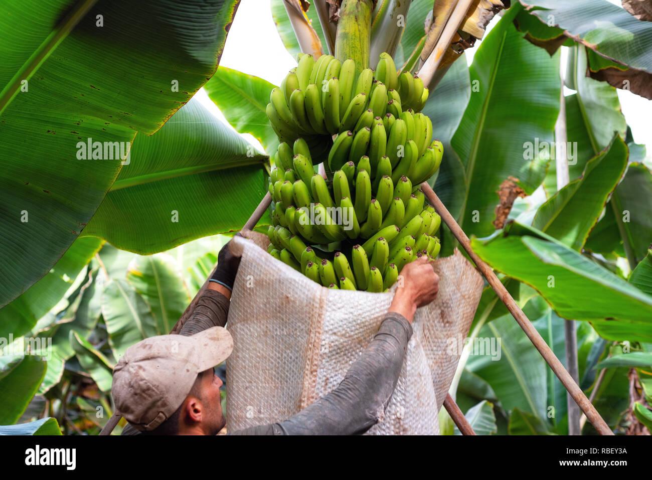 Teneriffa, Spanien - Januar 8, 2019: Arbeiter schneiden ein Bündel Bananen in einer Plantage in Teneriffa, Kanarische Inseln, Spanien. Stockbild