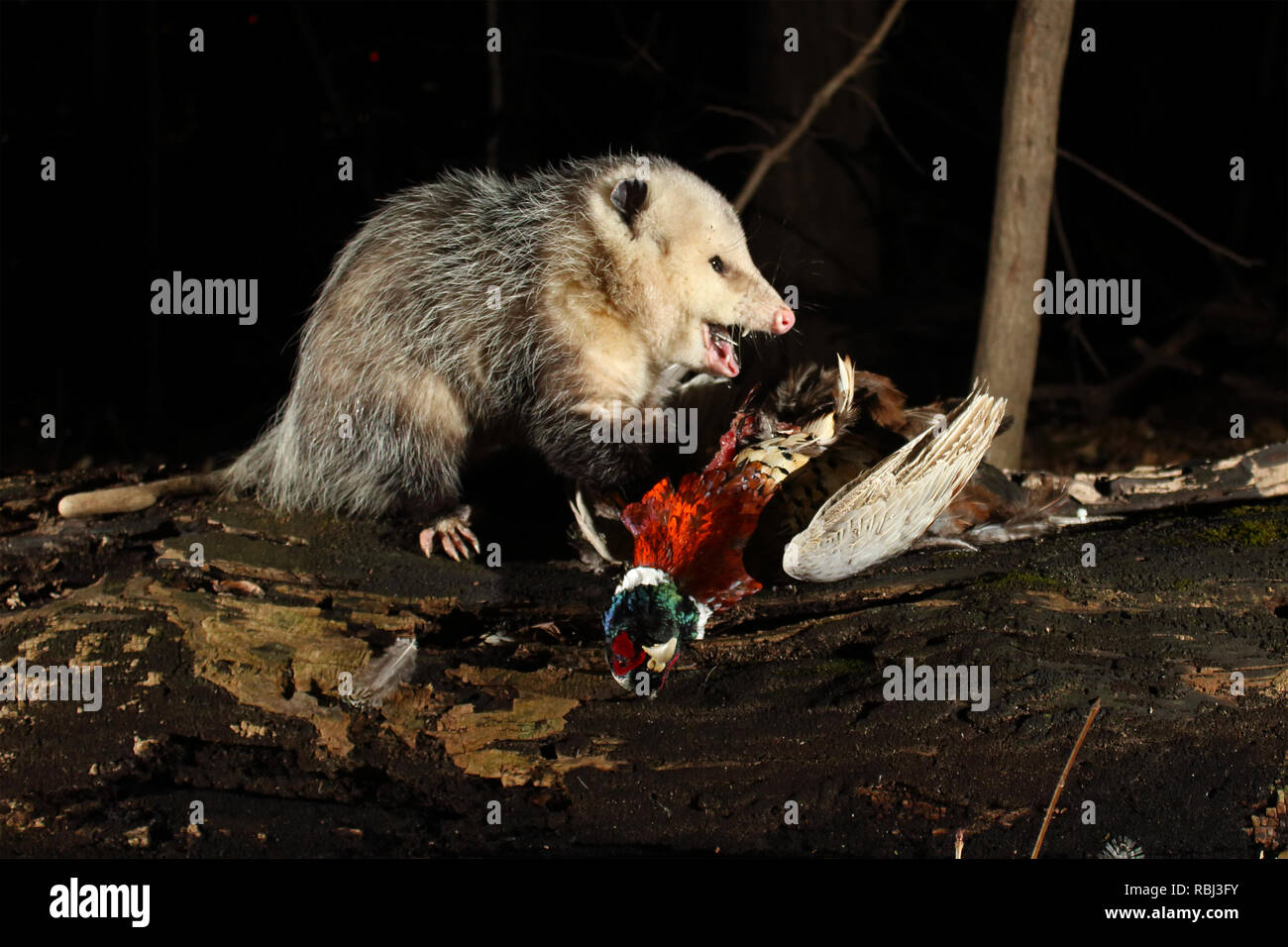 Ein Virginia opossum Schlemmen auf einem Ring-necked Pheasant. Stockbild