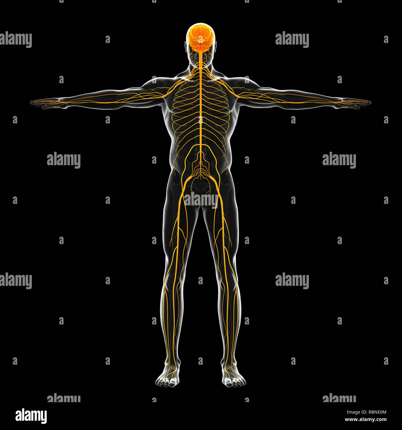 Menschliche Nervensystem Abbildung Stockfoto
