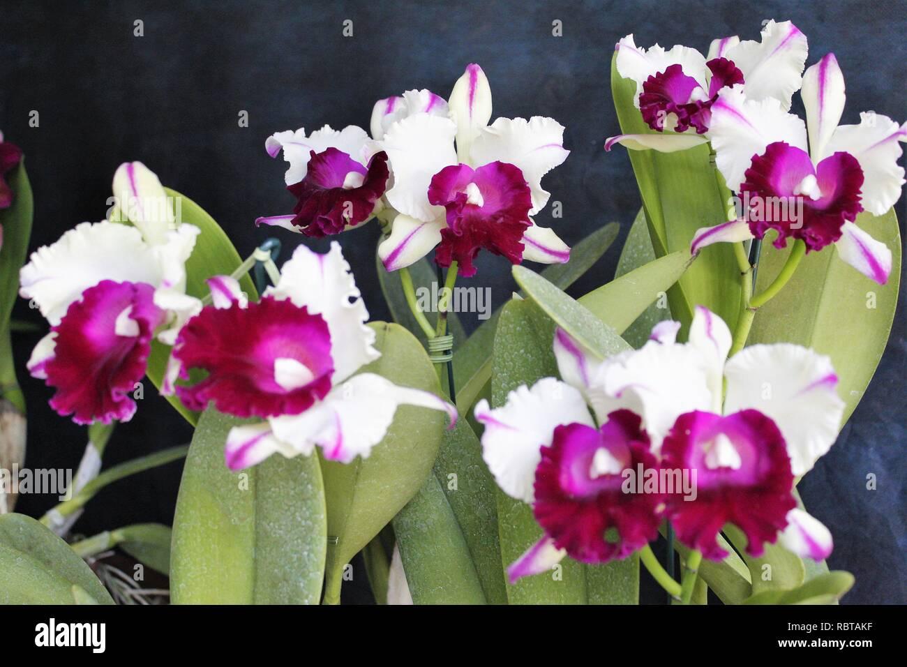 Flor Orquídeas Cattleya Branca Com Roxa Stockfoto Bild