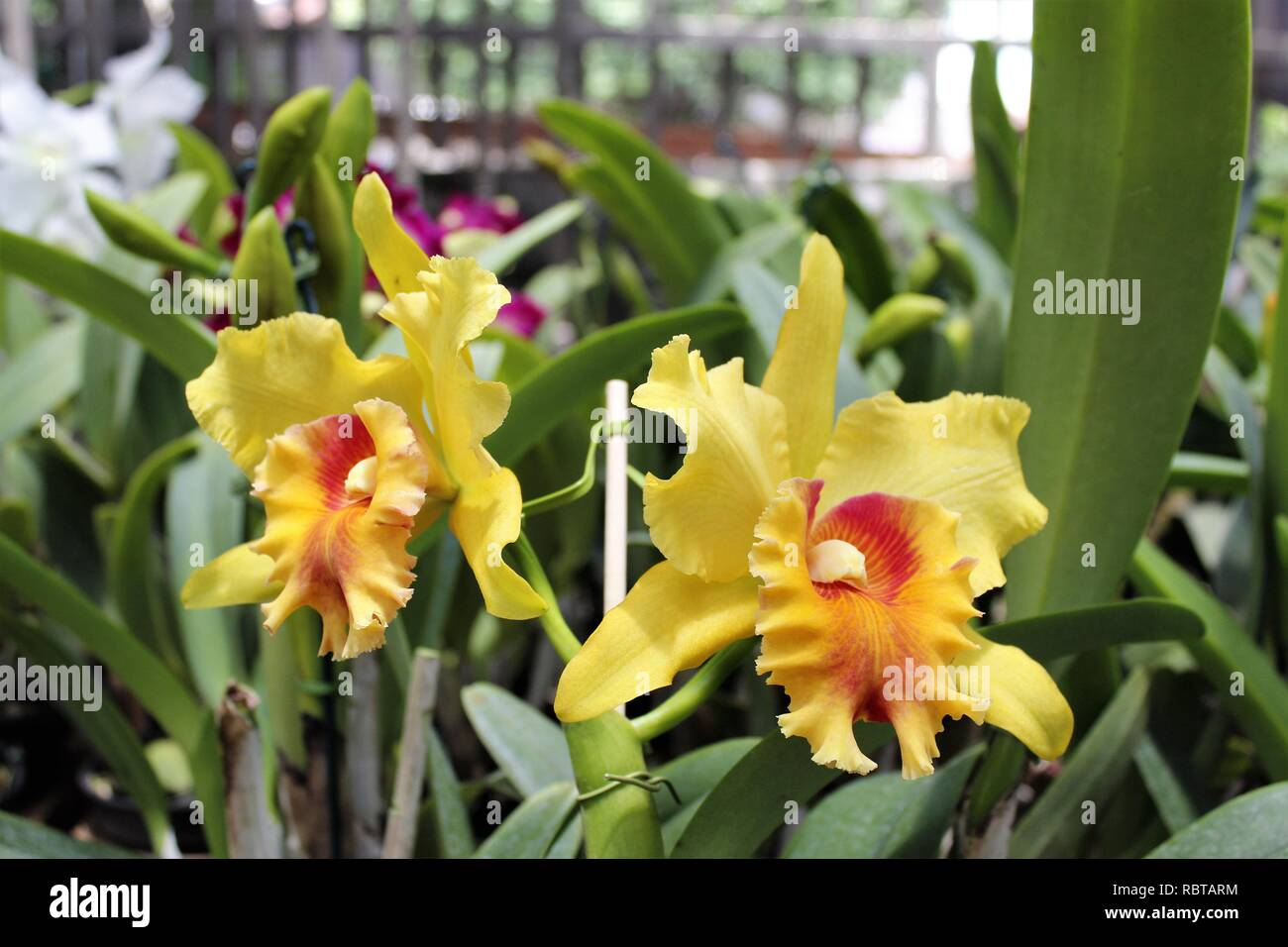 Flor Orquídeas Cattleya Amarela Para Jardins Stockfoto Bild
