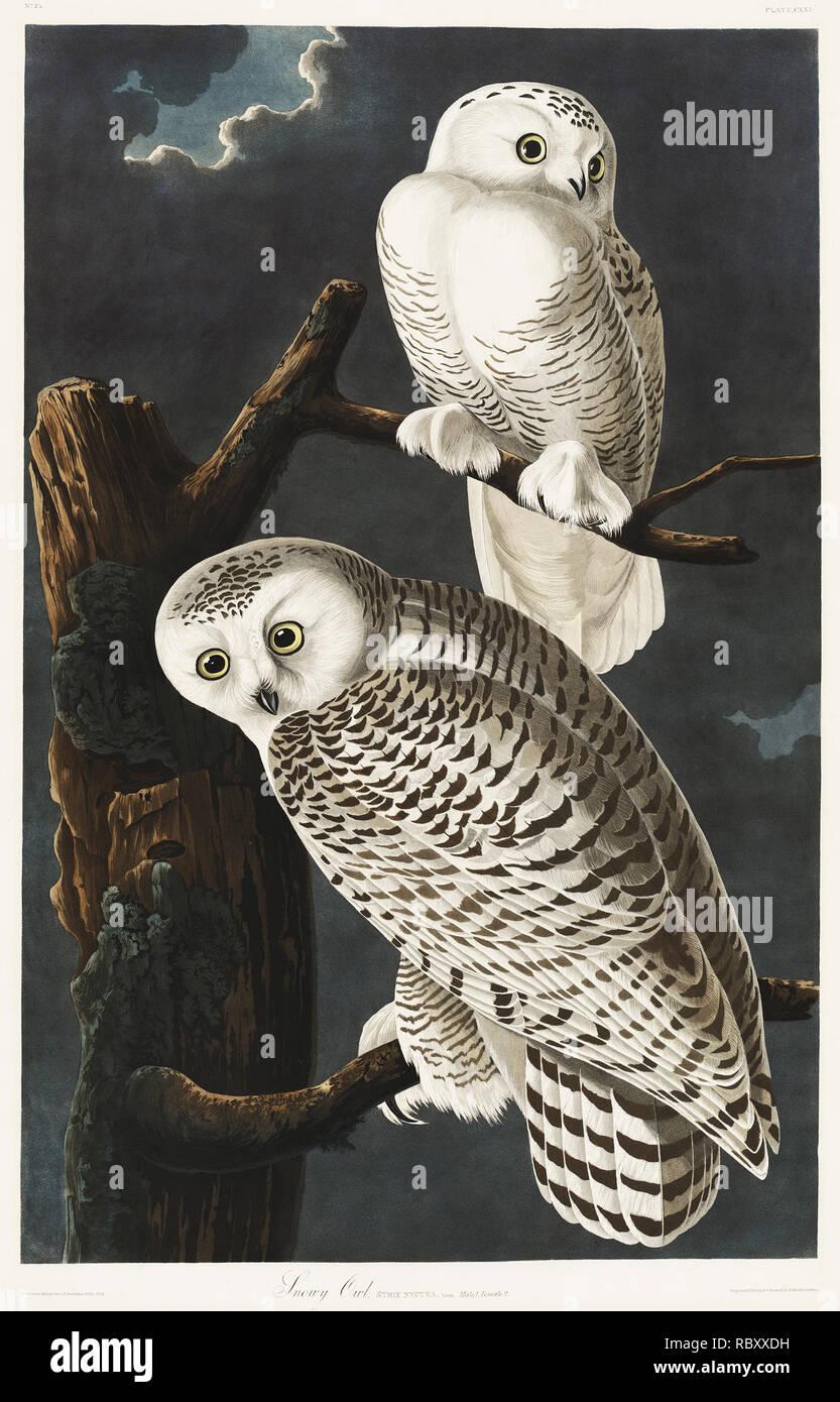 Snowy Owl von Vögel von Amerika (1827) von John James Audubon (1785-1851), geätzt von Robert Havell (1793-1878). Die ursprüngliche Vögel von Amerika ist das teuerste Buch der Welt und ein wirklich beeindruckend - Klassiker. Stockbild