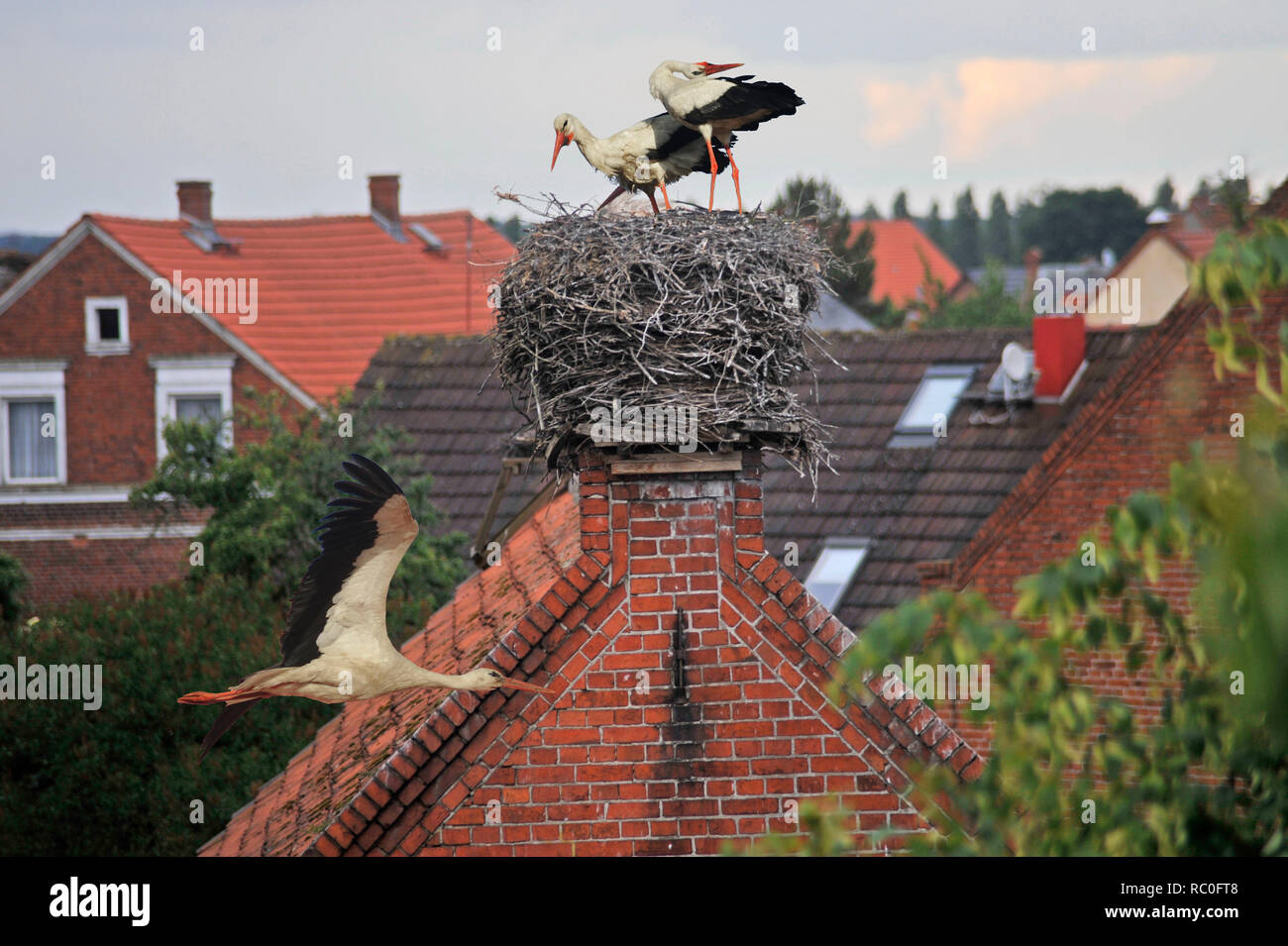 ##Weißstorch Ciconia ciconia; Familie: Störche ##Ciconiidae; Ordnung: Schreitvögel## Ciconiiformes, Störche bin Horst im Storchendorf Rühstädt, Lan Stockbild