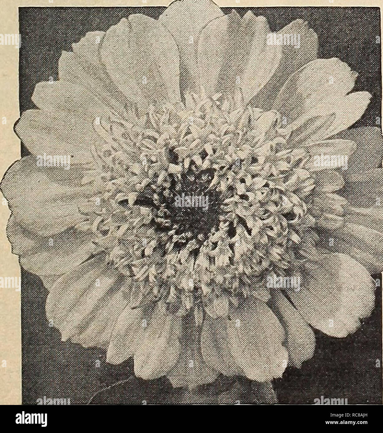 Home Blue Daisy Blumensamen Mehrjährige Ringelblume Rainbow Chrysanthemum Plant