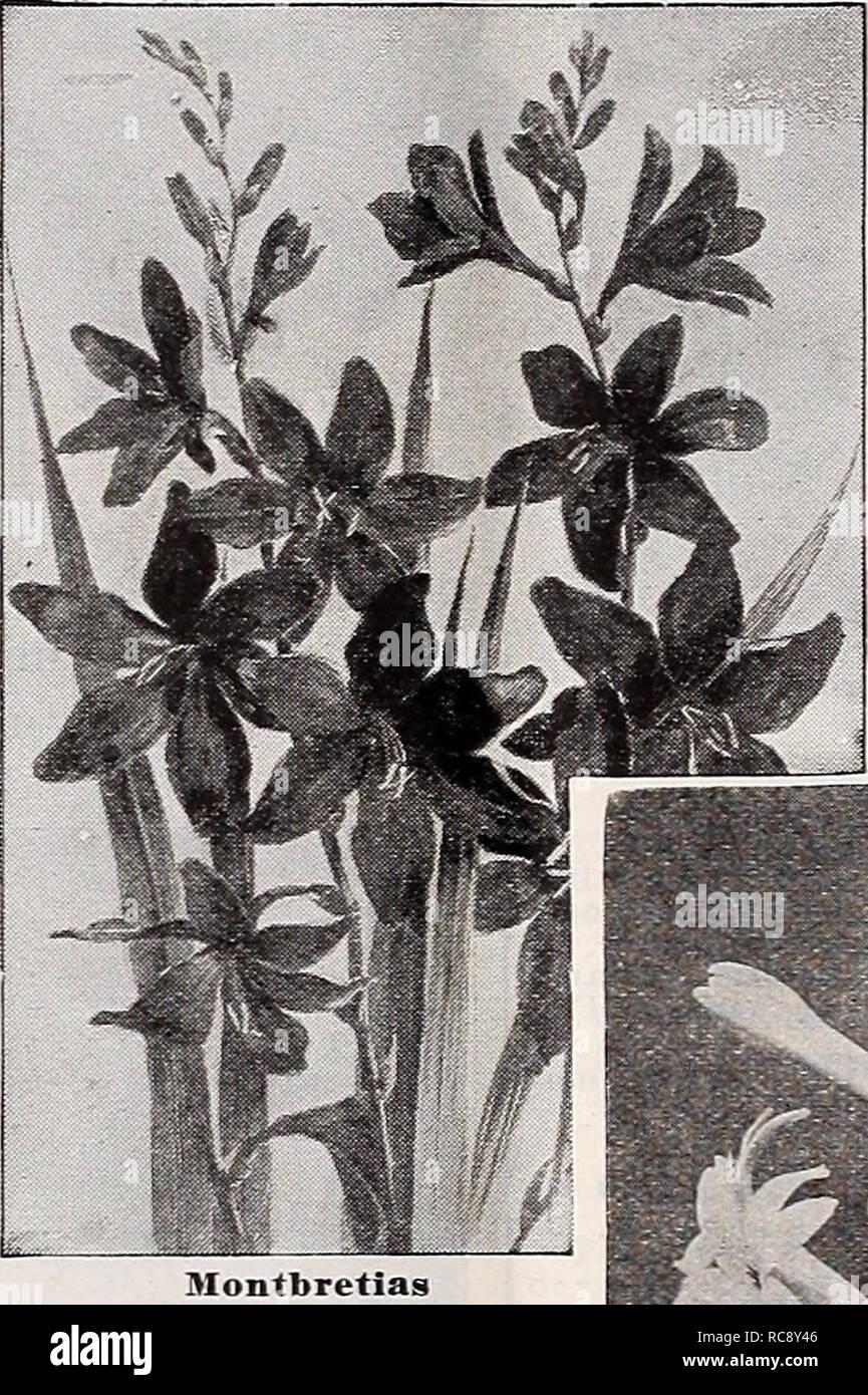 Lilien-Karter großen schwarzen Schwanz Große weiße Schwanzkummung