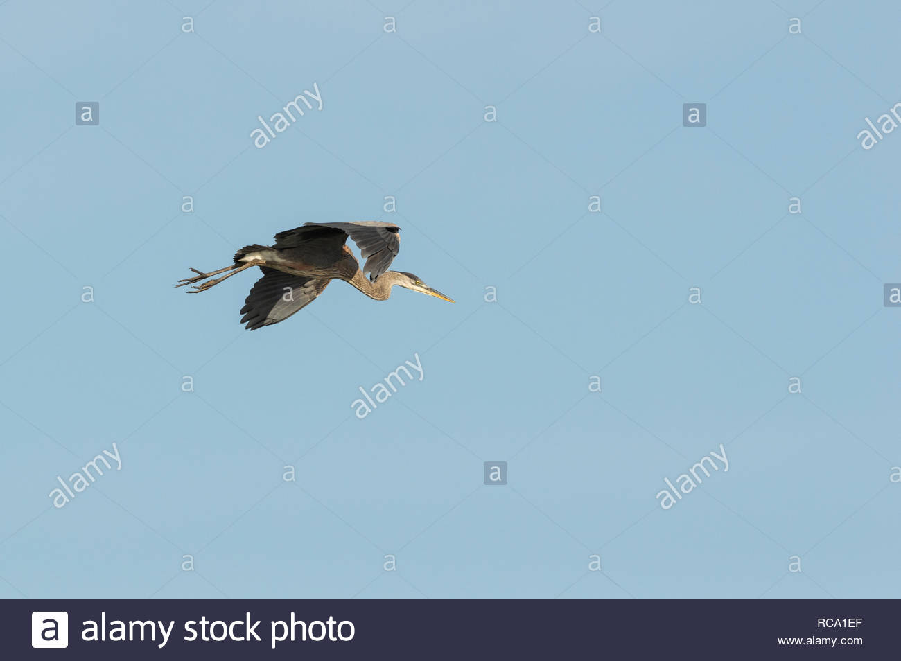 Great Blue Heron langsam fliegen, sich anschickt zu landen Stockbild