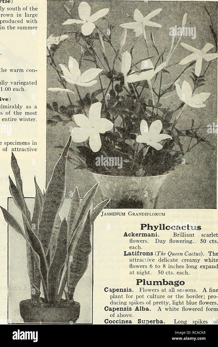. Dreer ist Herbst Katalog 1930. Die Glühbirnen (Pflanzen) Kataloge; Blumen Samen Kataloge; Gartengeräte und Zubehör Kataloge; Baumschulen (Gartenbau) Kataloge; Gemüse Samen Kataloge. 24/Hl^ Alli. Garten * GEWÄCHSHAUS PIANTA> HILMlEIiPMl   Lagerstroemia (Crape Myrtle) Dies ist eines der schönsten Sträucher, und während Hardy südlich des Potomac, erfordert der Schutz in diesem Breitengrad. In großen Töpfen oder Kübeln gewachsen, Proben 6 bis 8 Fuß hoch kann mit wenig Schwierigkeiten hergestellt werden, und die für zwei oder drei Monate im Sommer mit Blumen bedeckt werden. Indica. Zart rosa. - Alba. Ein whi Stockbild