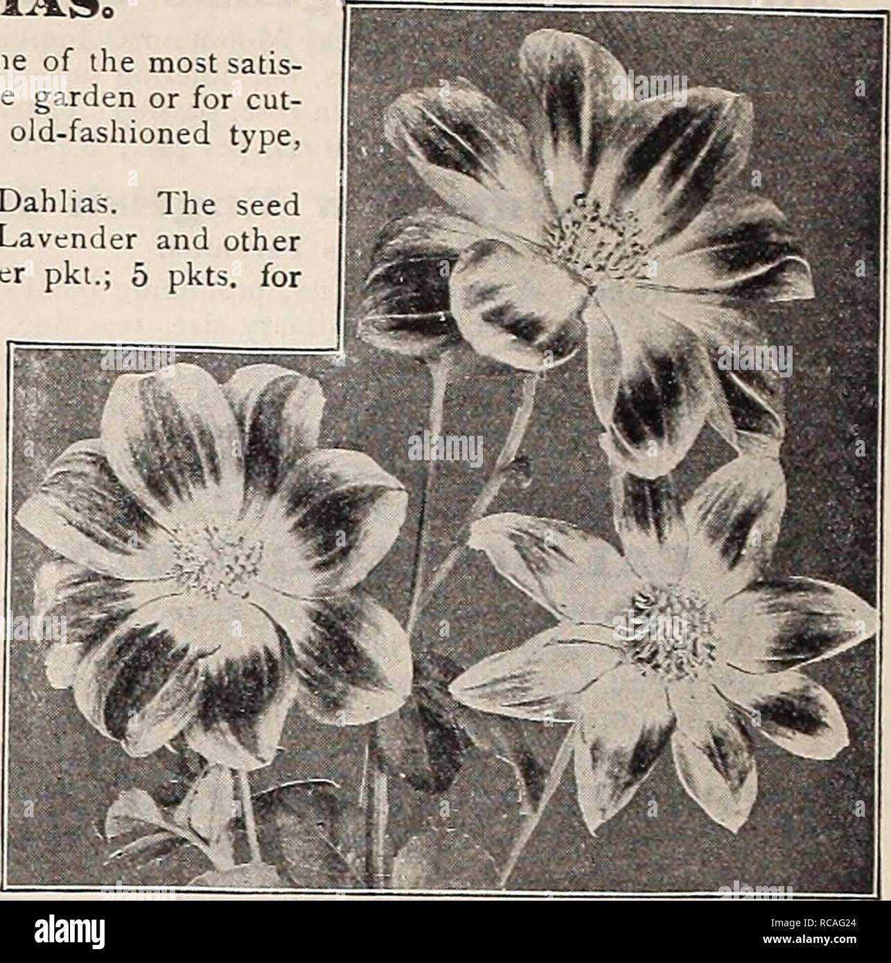 """. Dreer's Garten Buch: 1906. Samen Kataloge; Baumschulen Kataloge; Gartengeräte und Zubehör Kataloge; Blumen Samen Kataloge; Gemüse; Früchte Samen Samen Kataloge Kataloge. 12 1 l^ """"RrADRE! R4) hl [ADELPHIAMWFiOWFBFFn KnyFiTiF^- iTtn GRAND NEW^ SINGI. E DAHI. IAS 0 Single Dahlien sind eine der einfac. st Sachen vom Samen zum Wachsen und eine der am meisten satis - faclory Spätsommer und Herbst Blumen für die Dekoration des Gartens oder für Cut-ting. Die drei neuen Sorten unten angeboten werden, sind weit im Voraus der altmodischen Art und sollte einen Platz in jedem Garten finden. """"2187 Neue Centu Stockbild"""
