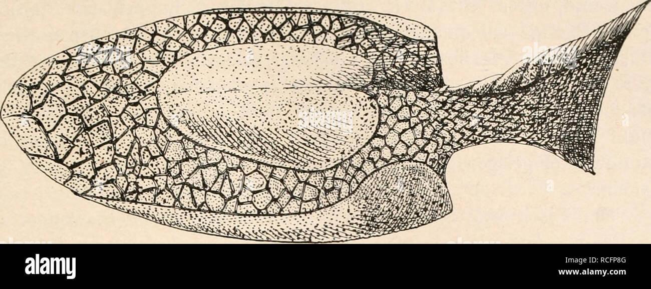 . Die Stämme der Wirbeltiere. Evolution; Paläontologie; Wirbeltiere. Fische (Fische). 81. Abb. 42. Rekonstruktion von Drepanaspis Gemündenensis, Schlüter, aus dem Unter-Devon von Gemünden in Rheinpreußen, in etwa 1/5 Nat. Gr.; Ansicht schräge von oben und von links. (Orig.-Rekonstr.) M. Zelt. Bitte beachten Sie, dass diese Bilder sind von der gescannten Seite Bilder, die digital für die Lesbarkeit verbessert haben mögen - Färbung und Aussehen dieser Abbildungen können nicht perfekt dem Original ähneln. extrahiert. Othenio Abel, 1875-1946. Berlin W. De Gruyter Stockfoto
