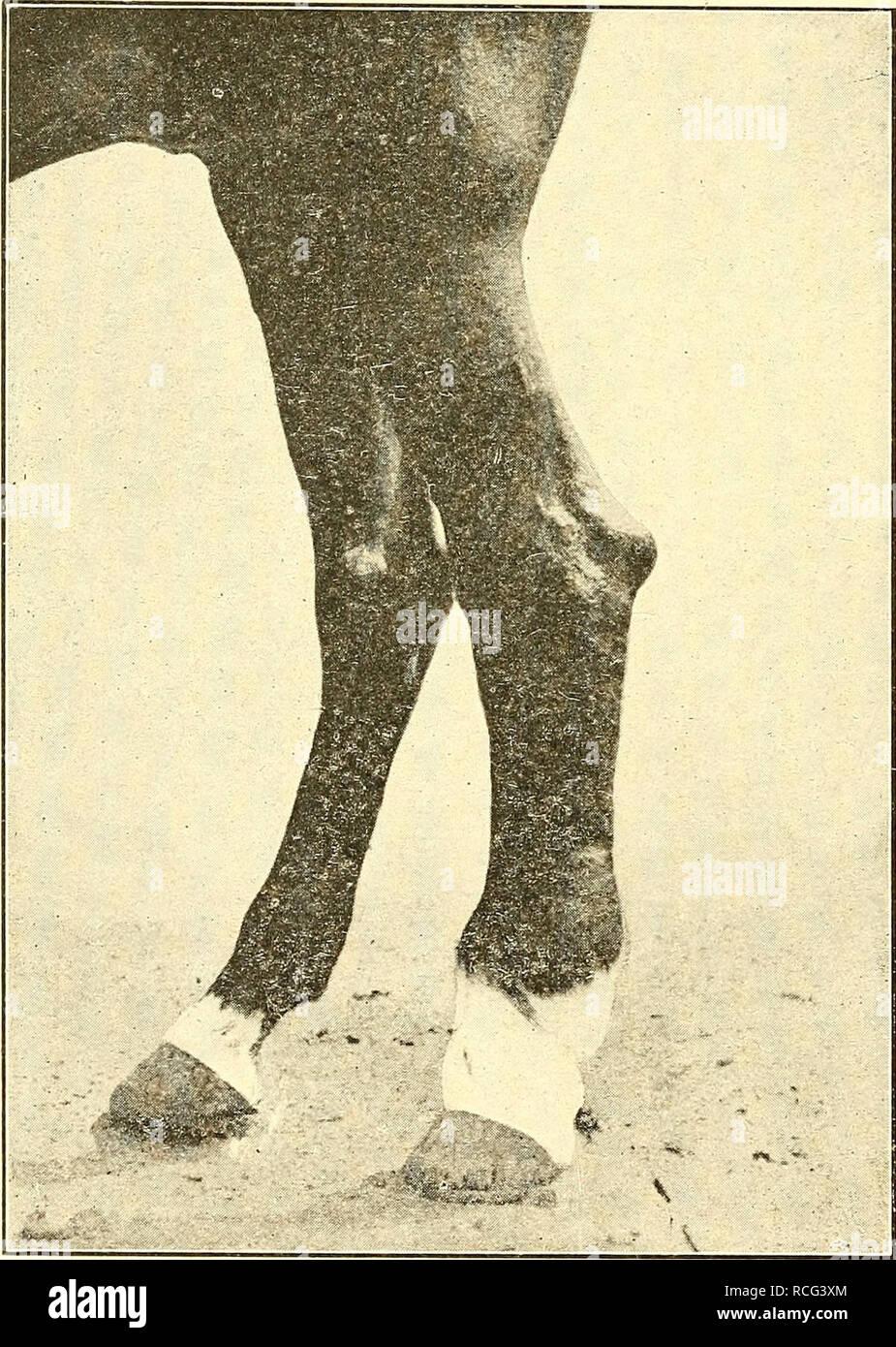 """. Elemente der hippology. Pferde. 126 ELEMENTE DER HIPPOLOGY. Zwischen dem kleinsten Knochen des Hock und der Leiter der Kanone - Knochen. Diese Entzündung, wenn nicht gestoppt, bevor die knöchernen Einzahlung beginnt, Ergebnisse in Knochen spat. Die üblichen Sitz ist gegenüber dem oberen drehen, der Buchstabe S im Wort """"Sitz"""", Abbildung 83 gezeigt. Die übliche Behandlung eines Spat, nach dem knöchernen Kaution hat fair-ly begonnen, ist die Stim-ulate der Kaution durch künstliche Entzündung bis zum niedrigsten Knochen zu den CAN-nicht-Knochen vereint sind; dann die Entzündung zu stoppen. So spat als """"geheilt"""" werden, aber es Stockbild"""
