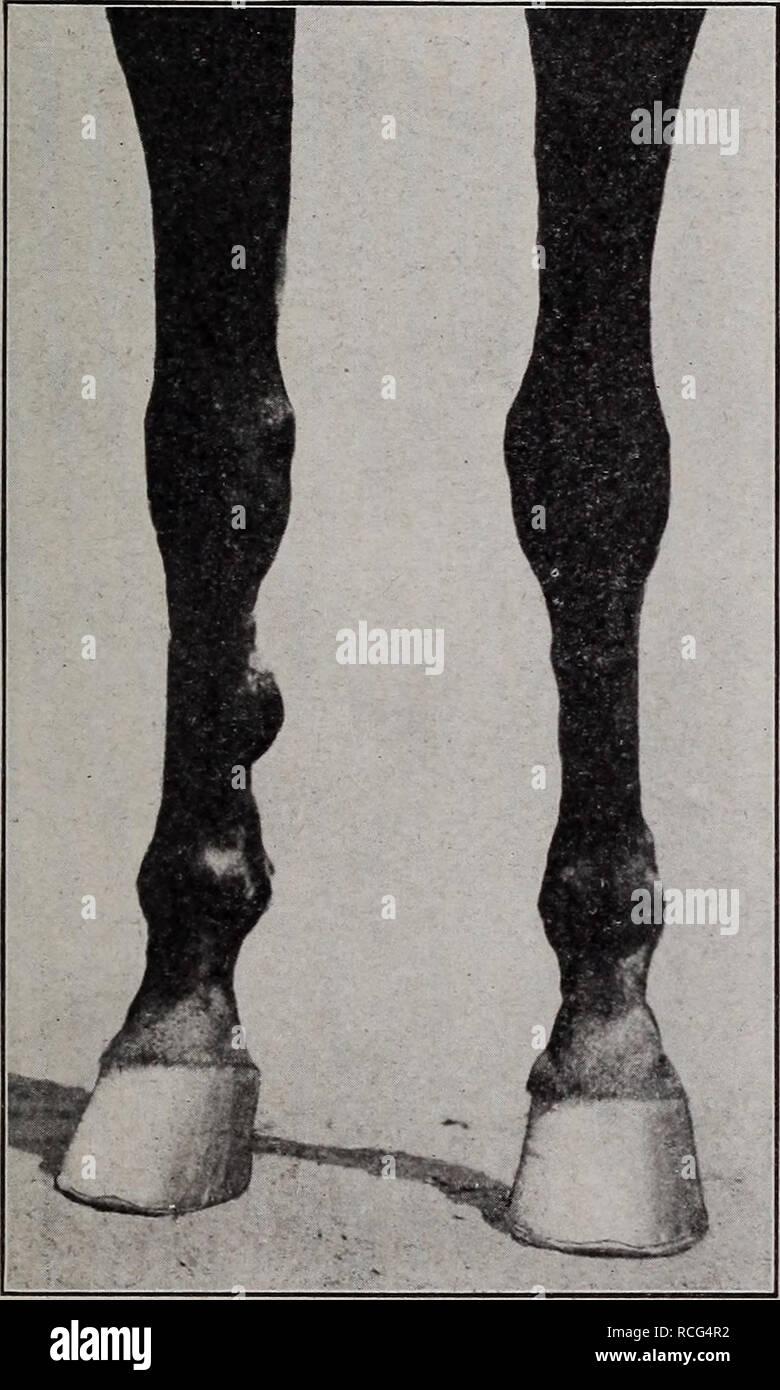 . Elemente der hippology... Pferde. Elemente der HIPPOLOGY. 89 Daraus ist sehr groß, oft ausreichend, um das Tier in die Knie zu bringen, und bedauerliche Unfälle zu verursachen. Die Linie des vorderbeines sollte fast gerade, die Kanone - Knochen zur Verlängerung der Radius. Wenn diese Leitung nach vorne beugt, das Pferd steht über die Knie; wenn es sich verbiegt, ist er Kalb - kneten. Die ehemalige ist ein Zeichen der muskulöse Mangel - Mangel an Kraft. Ein Kalb - kneed Pferd, wenn Sie hart arbeiten, ist apt zu Belastung der Sehnen oder Liga. Die Fessel sollte klein sein - nicht so breit wie das Knie von vorne betrachtet, noch Stockbild