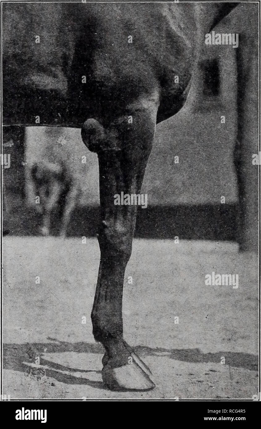 . Elemente der hippology... Pferde. 84 ELEMENTE VON HIPPO. Knochen und Cannon - Knochen, deren Funktion es ist, in die Lage zu versetzen< den Fuß nach vorne, ohne den Fuß auf den Boden gebracht werden, und durch die Elastizität der Knorpel, der Schock der Auswirkungen des Fußes mit dem Boden zu reduzieren. Das Trapez ist ein Knochen an der Rückseite des Knies zu af-Ford einen Hebel - wie Zubehör für die Sehnen, die die Knie gelegt. Die Carpal-Knochen sind in zwei Schichten, drei in einer Ebene angeordnet. Die oberen drei ar ticulate, mit dicken Knorpel zwischen, mit dem Bein - Knochen. Die unteren drei carpals Rest auf der metac Stockbild
