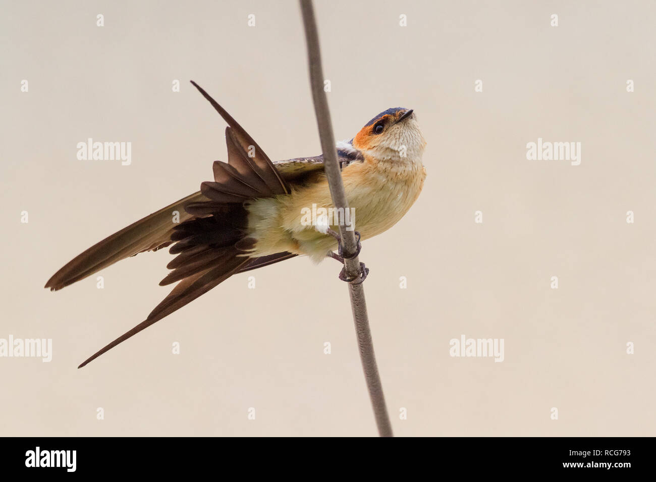 Red-rumped Swallow (Cecropis daurica), thront auf einem Draht Stockbild