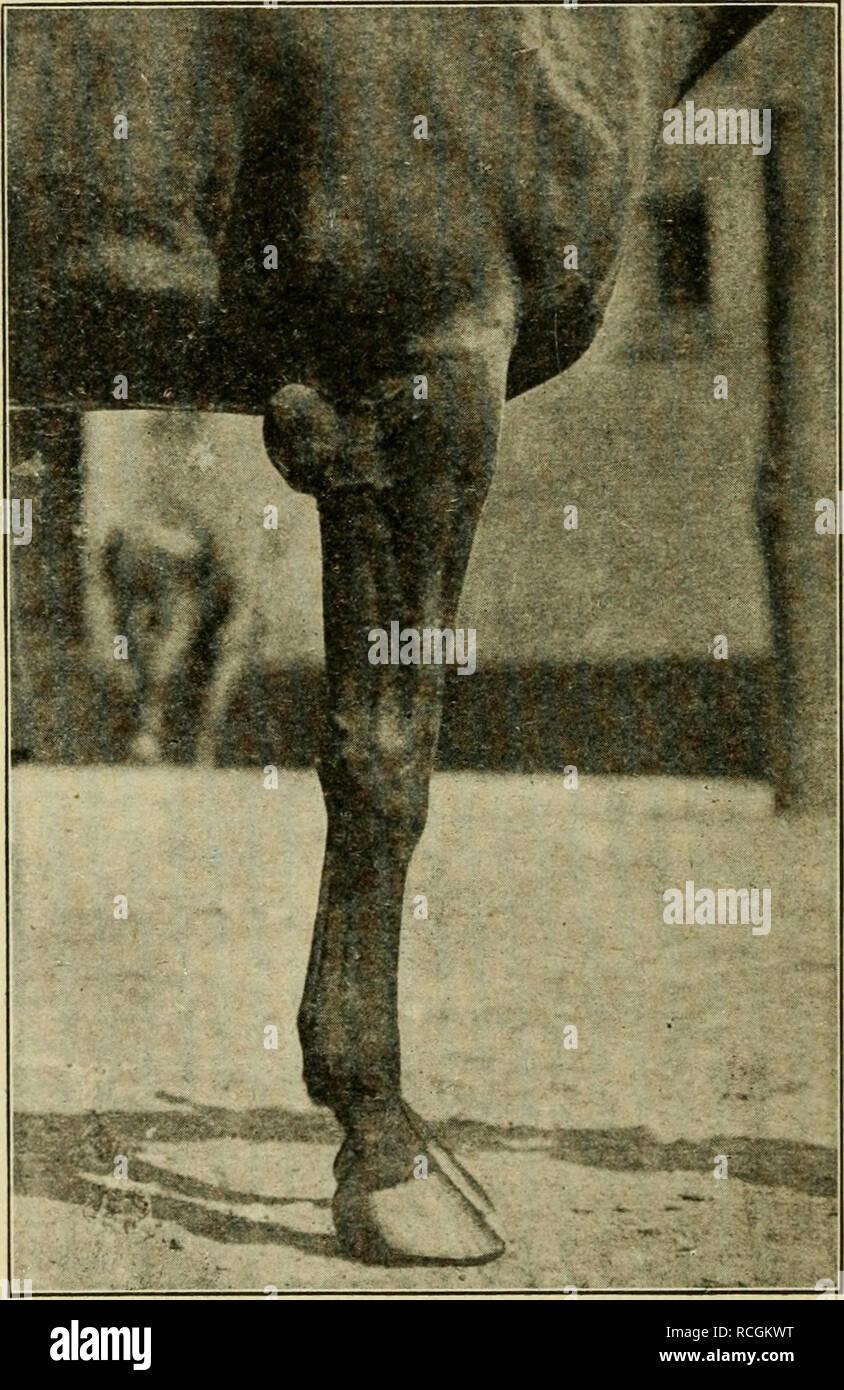 . Elemente der hippology. Pferde. 84 ELEMENTE DER HIPPOLOGY. Knochen und Cannon - Knochen, dessen Funktion es ist, aktivieren', um den Fuß nach vorne, ohne den Fuß auf den Boden gebracht werden, und durch die Elastizität der Knorpel, der Schock der Auswirkungen des Fußes mit dem Boden zu reduzieren. Das Trapez ist ein Knochen an der Rückseite des Knies zu af-Ford einen Hebel - wie Zubehör für die Sehnen, die die Knie gelegt. Die Carpal-Knochen sind in zwei Schichten, drei in einer Ebene angeordnet. Die oberen drei ar ticulate, mit dicken Knorpel zwischen, mit dem Bein - Knochen. Die unteren drei carpals Rest auf der metacar-pal Stockbild