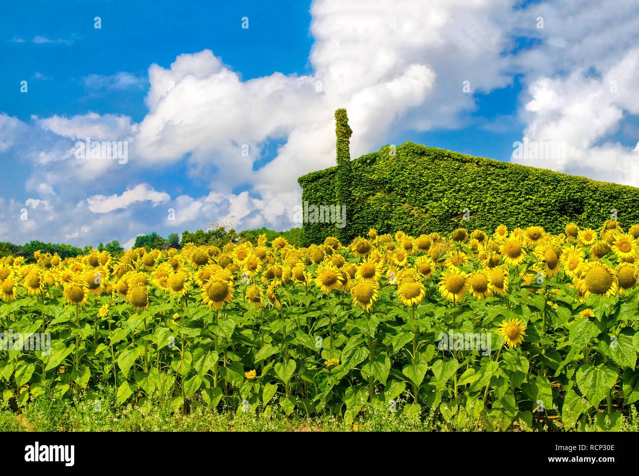 Green House Sonnenblumen nachhaltigen Wohnungsbau Hintergrund Stockbild