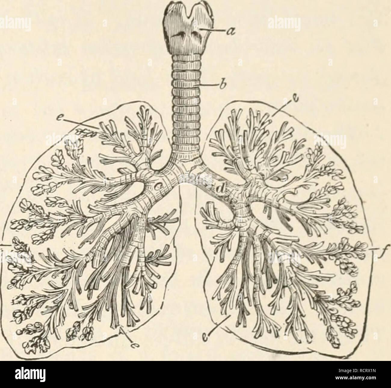 02c5fa5c79 . Elemente der Biologie; ein praktisches Lehrbuch Korrelation von Botanik,  Zoologie, und der menschlichen Physiologie. Biologie. Atmung ...