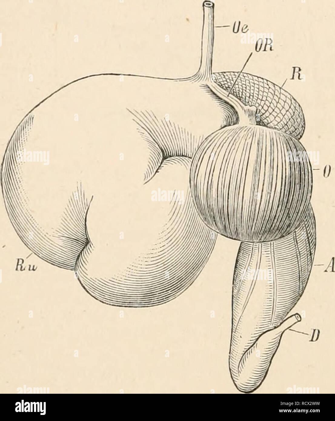 . Elementare Lehrbuch der Zoologie. Zoologie. 316 MAMMALIA. Oder 11 rangular Krone hat vier chief Protuberanzen, die durch tiefe Täler, die nicht mit Zement bestellt getrennt sind, aber manchmal sind mit kleinen Zubehör Höcker eingerichtet. Die prsemolars sind klein, und haben in der Regel nur ein oder zwei Höcker. Die meta-fußwurzel und mittelhandknochen sind immer ankylosed, einer Kanone Knochen (tig zu bilden. 67 (M). Der Wiederkäuenden ia sind physiologisch und anatomisch durch Wiederkäuen und durch die Struktur des Magens und Gebiss, die mit dieser Besonderheit korreliert ist. Das Essen immer Stockbild