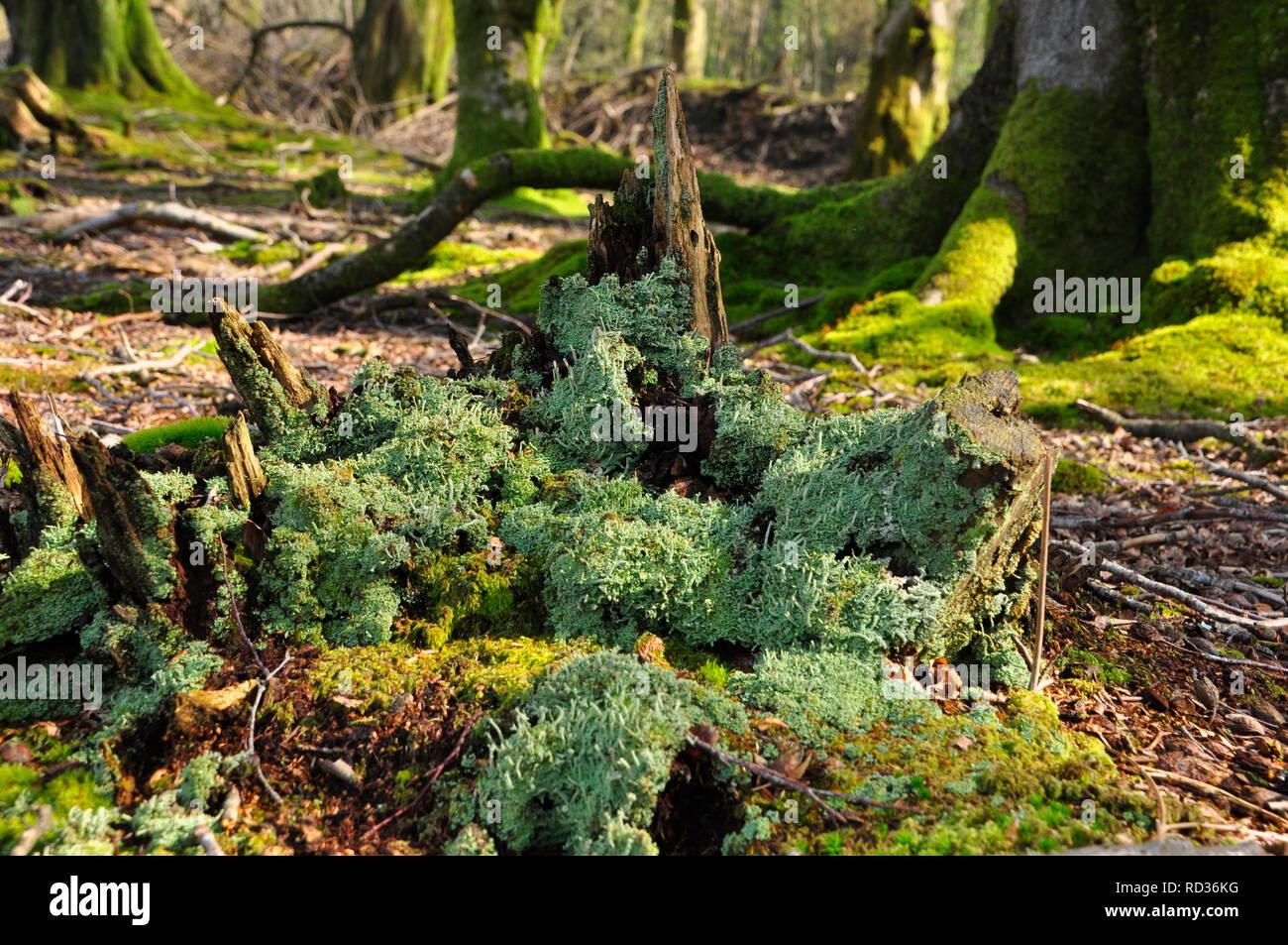 Grüne Flechte Stockfotos Grüne Flechte Bilder Alamy