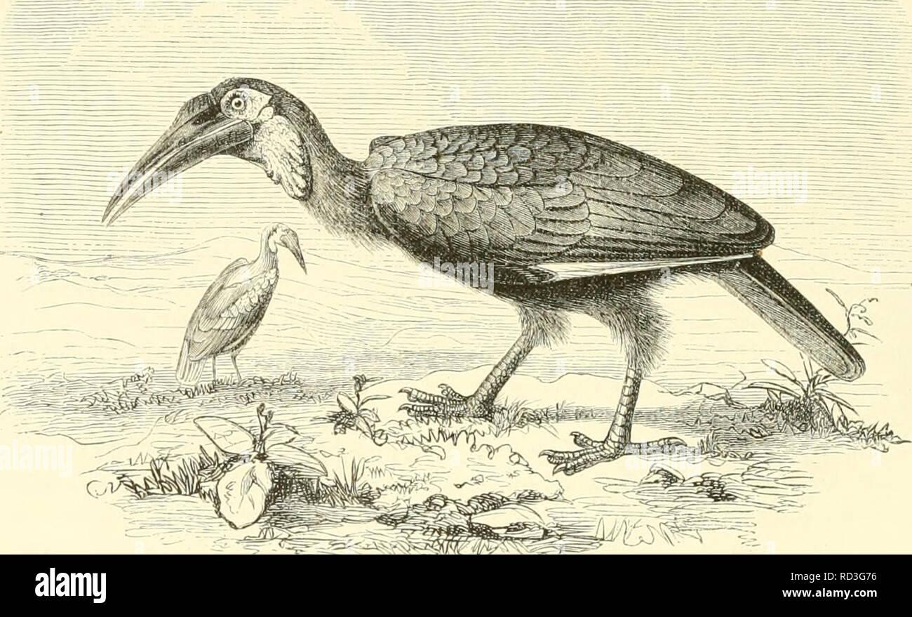 . De Dierentuin van het Koninklijk zoologisch Genootschap Natura Artis Magistra te Amsterdam. Zoos; Vögel. Z, j, lr eelcii van het De pi (Miis (('v; ui alle Soorten bekende ist Baceros cri) - iiiiriil (I/II ^. van Afrika. Zij wijkt ook van alle andere snollen af.diiiirdien zij zeer hooià ¯ op de pooten, koitcic tiviicii II.â (â!' (. ni Zürich häufig Op de Grond iiphuiiilt. Zij hccll ccneii/. eer uiooten, gekronkelden, blaauw en Rood gekleuiden keelzak. De bek en het geheele vederkleed, met nitzondering van de Groote slagpeniien en de hnitendekvedei-en Der vleugels, eene witachliw Fussel lichlim sterben. zijn Stockfoto