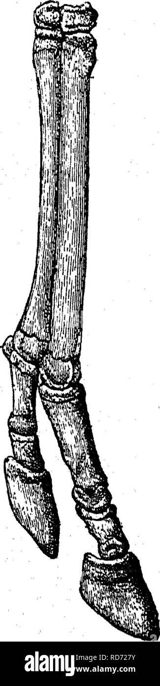 . Punkte des Pferdes; eine Abhandlung über den Körperbau, Bewegungen, Rassen und Evolution des Pferdes. Pferde. 288 EVOLUTION DES PFERDES,, Knie und Sprunggelenk nach unten, werden wir feststellen, dass, obwohl die Schiene - Knochen bilden Gelenke mit dem Knie Knochen, die werden sofort über sie; ihre unteren Enden nicht, wie die von der Kanone - Knochen, mit anderen Knochen artikulieren. Ein Mann, der nichts über die Anatomie kannte, die Funktionen, Krankheiten und von allen anderen Tieren mit Ausnahme des Pferdes, der Plan, nach dem die Knochen unterhalb der Knie und Sprunggelenke wurden gebaut; h zu kritisieren Stockbild