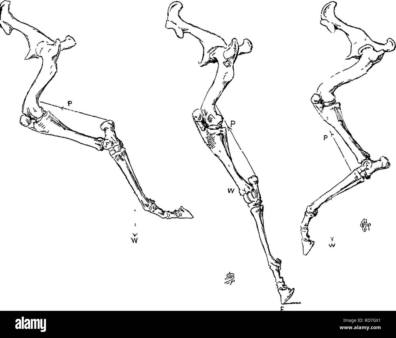 . Punkte des Pferdes; eine Abhandlung über den Körperbau, Bewegungen, Rassen und Evolution des Pferdes. Pferde. Mechanismus der FESSELGELENK, 57 variieren in Abhängigkeit von der Steigung von der Fessel und Klauen, und nach der Länge von der Fessel bis zu den Zehen. Daher (pp. 42 bis 44), desto kürzer ist die Entfernung des Toe aus der Richtung der Kanone - Knochen, oder von dem der zurück sehnen, desto größer werden die mechanischen Vorteil sein, bei der die zurück sehnen handeln; und versL Auf der anderen Seite können wir sehen, dass das mehr ist die mechanische gewinnen, desto schlechter wird die Fessel handeln wie eine Feder, die Stockbild