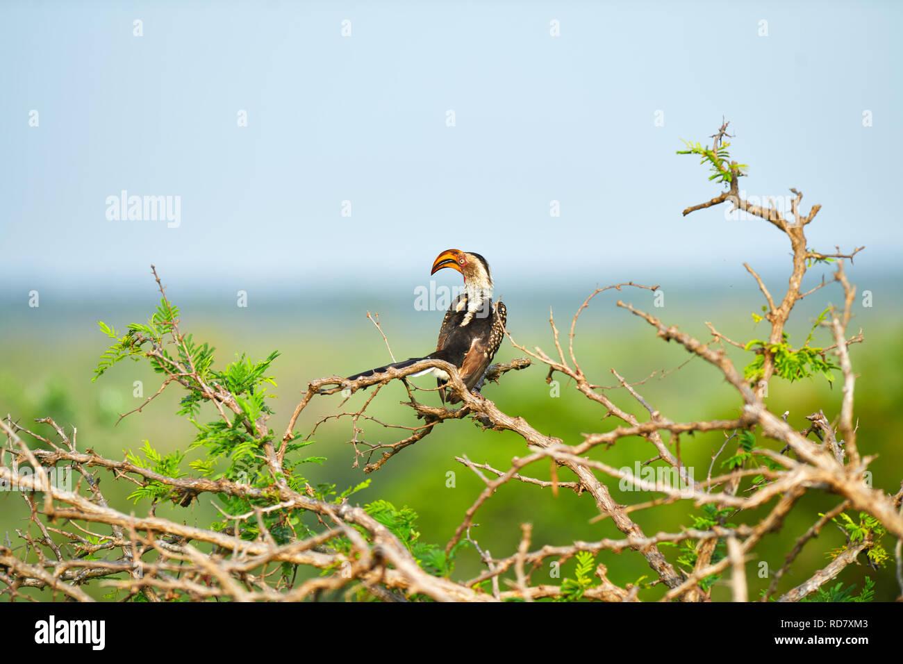 Southern Yellow Billed Hornbill Krüger-Nationalpark Stockbild