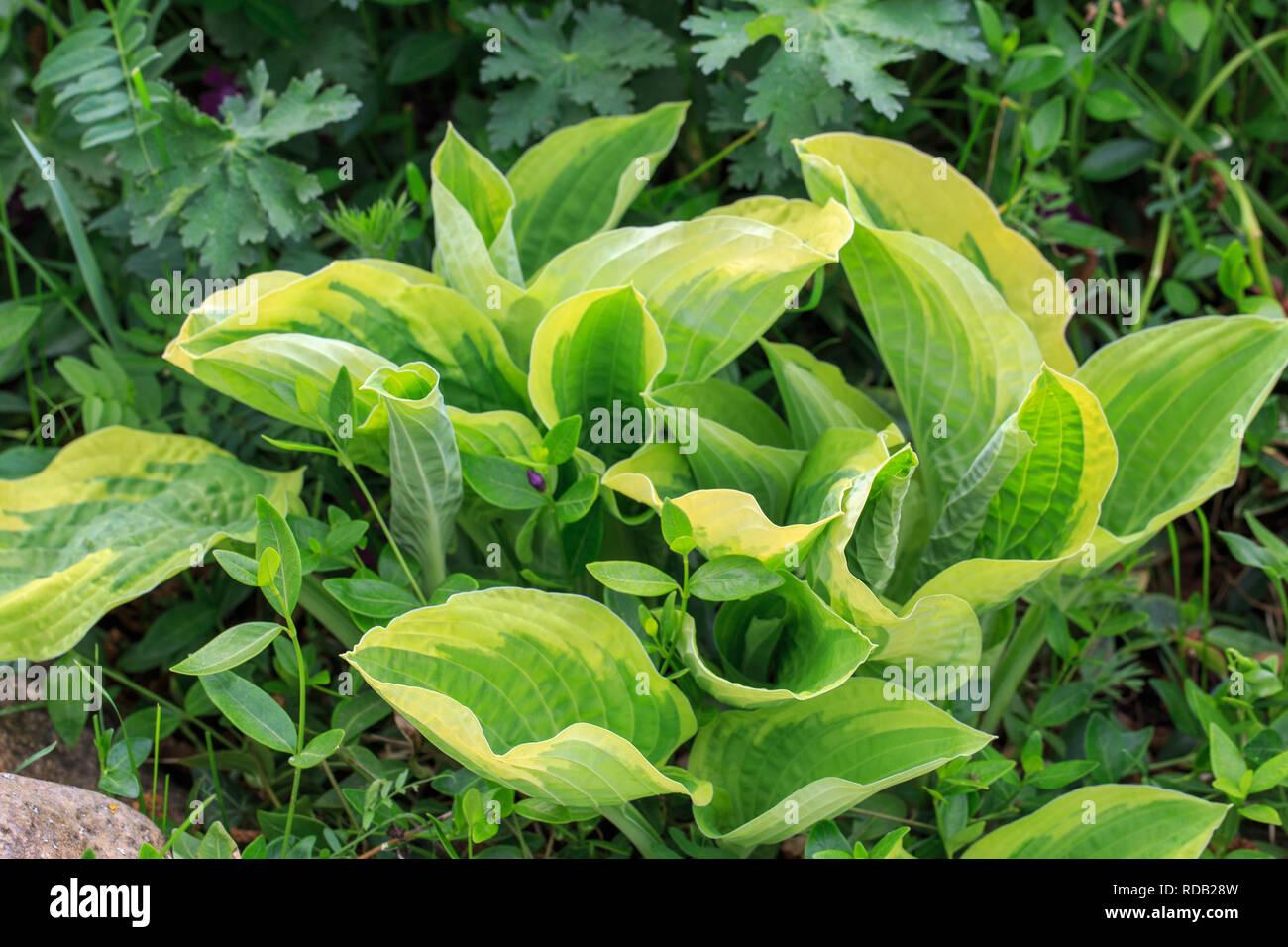 Violette Blumen blühende hosta Hosta undulata Stockbild