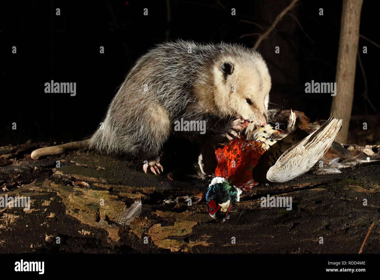 Ein Virginia opossum Schlemmen auf einem Ring-Necked Fasan. Stockbild