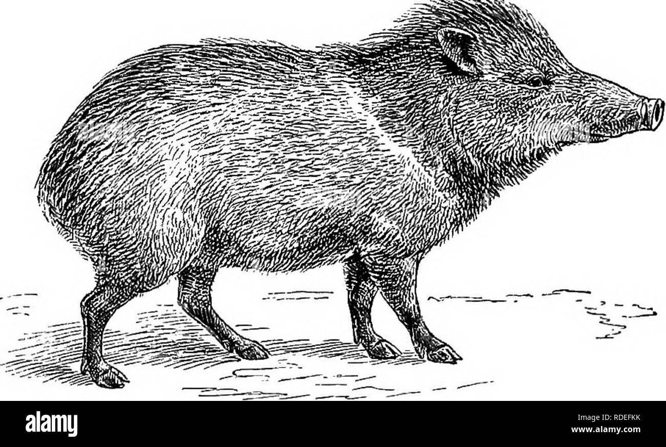 . Amerikanische Tierarten leben. Zoologie; das Verhalten der Tiere. 196 Tierarten leben in der Struktur ihrer Füße. In den ersten Platz, die hinterbeine - Fuß hat drei Ziffern, aber das macht es nicht gerade eine ungerade-toed Ungulate, weil nur zwei sind funktional und der Linie der Symmetrie geht nach unten zwischen ihnen, wie in den anderen Selbst-toed ausfuhrbestimmten Tiere. Im Vordergrund - Fuß ist wie in der Schweine. Die anderen außergewöhnlichen Charakter ist der Median der oberen Teile der beiden mittleren Fuß Knochen in eine feste Struktur oder Cannon Knochen. Diese Vereinigung existiert in allen Wiederkäuer mit Ausnahme der Afrikanischen Abb. 54. Das COLL Stockbild