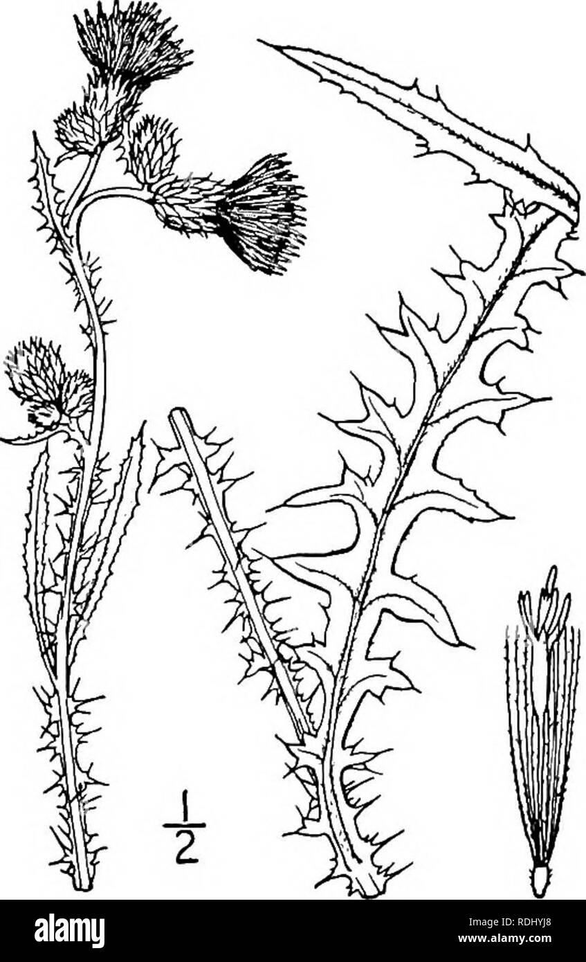 Marsh Thistle Cirsium Palustris Stockfotos Marsh Thistle Cirsium