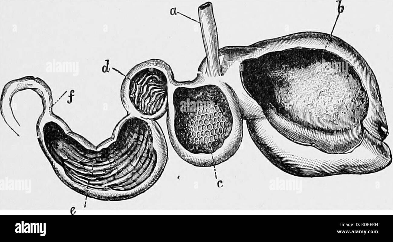 """. Die Cambridge Natural History. Zoologie. Wiederkäuen 281 im Oberkiefer, und sehr in der Regel gibt es keine. In der Regel im dritten und vierten metacarpals und Metatarsals united werden eine Kanone Knochen zu bilden. Zu dieser gibt es nur eine Ausnahme, die afrikanische Hyomosclnis. Darüber hinaus sind die Ziffern 2 und 5 sind fast immer rudimentär und kann praktisch ganz verschwinden. Hier nochmal der Tragulidae sind eine Ausnahme. Die Eumiuantia sind so genannte Aufgrund der Tatsache, dass Sie """"flüchtig"""", das heißt, nach dem Essen lias schnell gewesen. Abb. 146.- Magen von Rummant geöffnet sho Stockbild"""