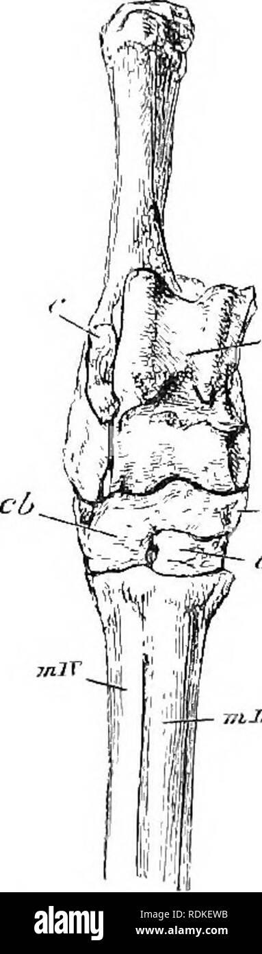 . Die Cambridge Natural History. Zoologie. Des Karpal- und Tarsalgelenks ARTIODACTYLES 271 die Fakten der Ungulate Abstammung sind absolut destruktive solcher Vergleiche. So ist es auch bei der Perissodactyles, die Artiodactyles zeigen eine historische Reihe, die primitive fünf-toed Zustand, fast in Oreodon erhalten, bis zu den modernsten Modifikation durch den Ochsen, Schafe, etc., in denen Tiere gibt es noch nicht einmal Spuren der vierten und fünften Zehen veranschaulicht. Es wurde erklärt, jedoch, dass die föten Schafe hat Spuren jener Grundlagen. Die so genannte Cannon Knochen (die dritte und vierte m Stockbild