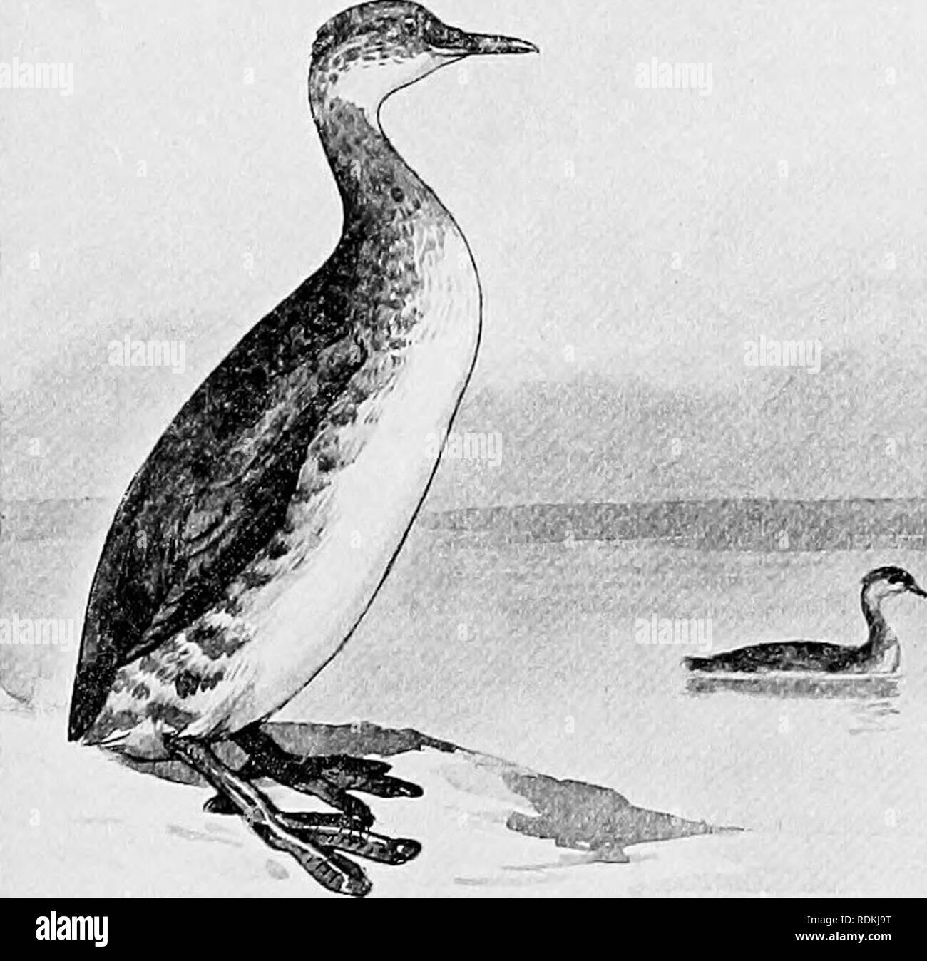 . Die Vögel von Illinois und Wisconsin. Vögel, Vögel. Die Vögel von Illinois und Wisconsin. Wasservögel, um PYGOPODES. Tauchen Vögel. Unterordnung COLYMBI. Familie COLYMBIDiE. Haubentaucher.. Bitte beachten Sie, dass diese Bilder sind von der gescannten Seite Bilder, die digital für die Lesbarkeit verbessert haben mögen - Färbung und Aussehen dieser Abbildungen können nicht perfekt dem Original ähneln. extrahiert. Cory, Charles B. (Charles Barney), 1857-1921. Chicago Stockfoto