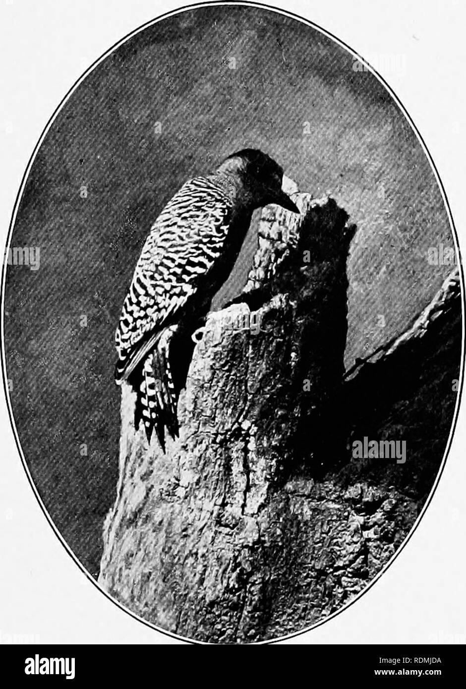 """. Zwei Vogel-Liebhaber in Mexiko. Natural History; Vögel. :::::::: """"V CAMPING IN EINEM BARRANCA m::::::::: Red-bellied Woodpecker, die gemeinsame Vogel unserer Atlantischen Staaten. Diese Vögel bleiben den ganzen Winter über gekoppelt, und sind für immer zu einander. Elegante SPECHT ihr lautes Schreien klingeln scharfe über alle anderen Sounds. Diese Gewohnheit, die zusammen mit ihren auffälligen schwarzen und weißen Rücken und roten Kappen, macht sie Prominente in der Vogelwelt in diesem Teil von Mexiko. Sie. o^147 #"""". Bitte beachten Sie, dass diese Bilder aus gescannten Seite Bilder, Ziffer wurden extrahiert werden Stockbild"""