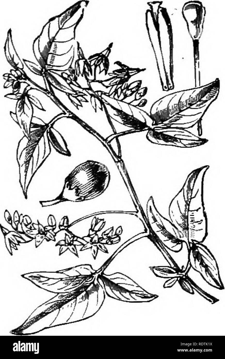 Bittersüßer Nachtschatten Solanum dulcamara 150 Samen MENGENRABATT !!!