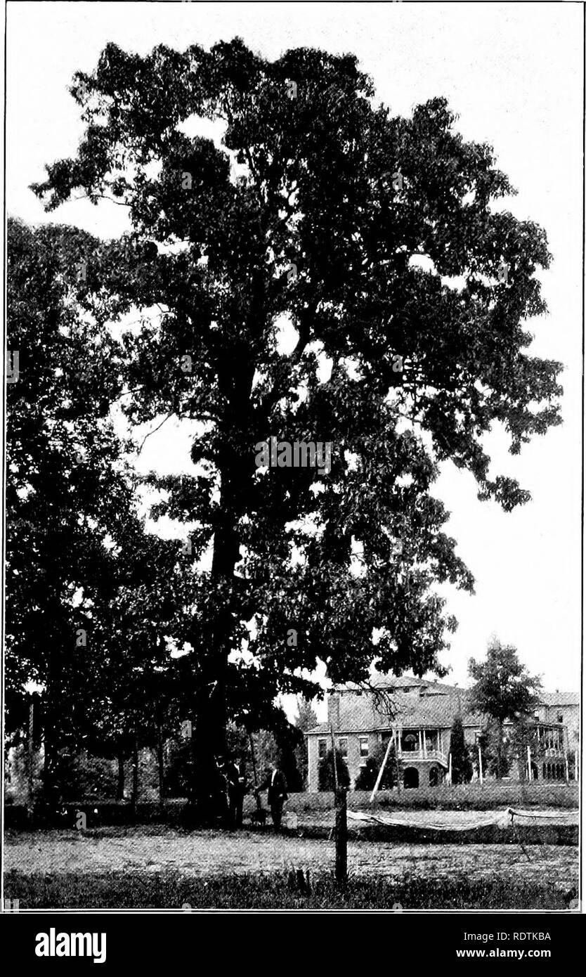 . Der Baum Buch. Bäume. Die SCHWARZE EICHE IST EIN GROSSES, locker vorangegangen Arten. Bitte beachten Sie, dass diese Bilder sind von der gescannten Seite Bilder, die digital für die Lesbarkeit verbessert haben mögen - Färbung und Aussehen dieser Abbildungen können nicht perfekt dem Original ähneln. extrahiert. McFee, Inez N. (Inez Nellie Canfield), b. 1879. New York, Frederick A. Stokes Co. Stockbild
