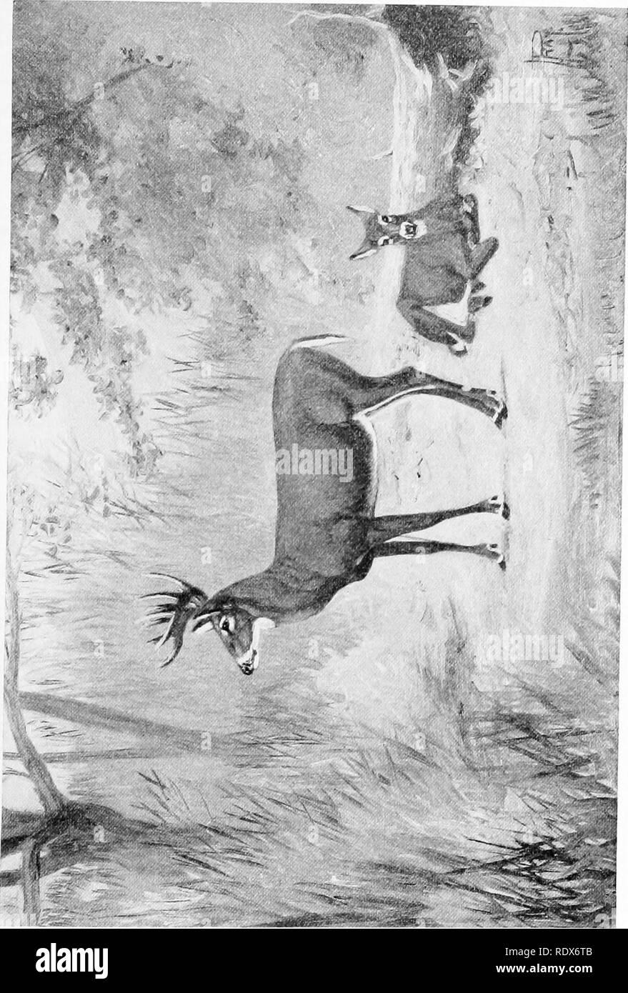 . [Gesammelt Nachdrucke, 1912-1919. Säugetiere; Säugetiere, Vögel. Feb., 1912. Säugetiere von Illinois und Wisconsin - Cory. 61. Bitte beachten Sie, dass diese Bilder sind von der gescannten Seite Bilder, die digital für die Lesbarkeit verbessert haben mögen - Färbung und Aussehen dieser Abbildungen können nicht perfekt dem Original ähneln. extrahiert. Cory, Charles B. (Charles Barney), 1857-1921. , N. n. Stockfoto